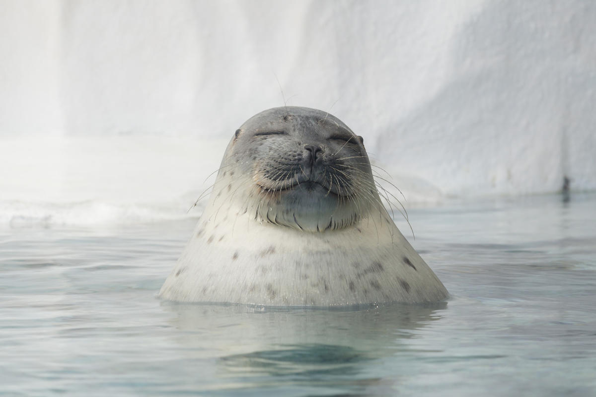 save the ringed seal  save the planet