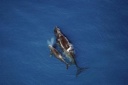 A right whale mom with newborn.