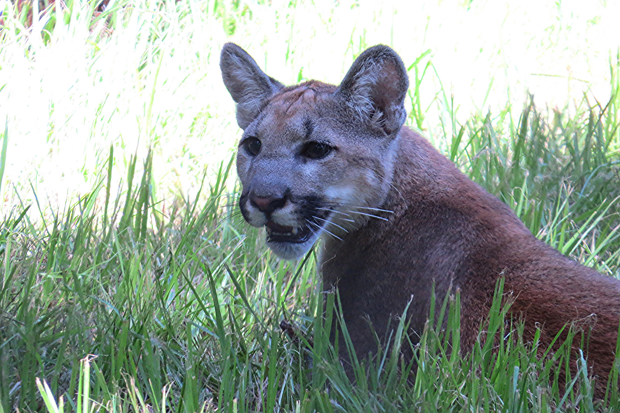Plight of the panther nrdc for Florida fish wildlife