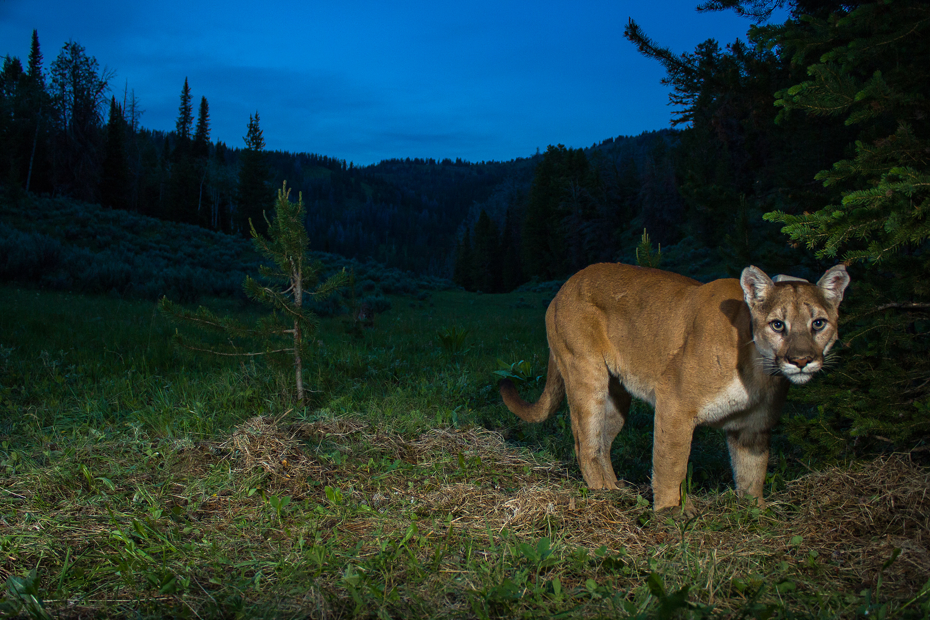 west yellowstone cougar women Aggressive older women seduce cock for their pleasure in cougar porn sexy blowjobs and deep fucking of experienced pussy make them cum at xhamster.