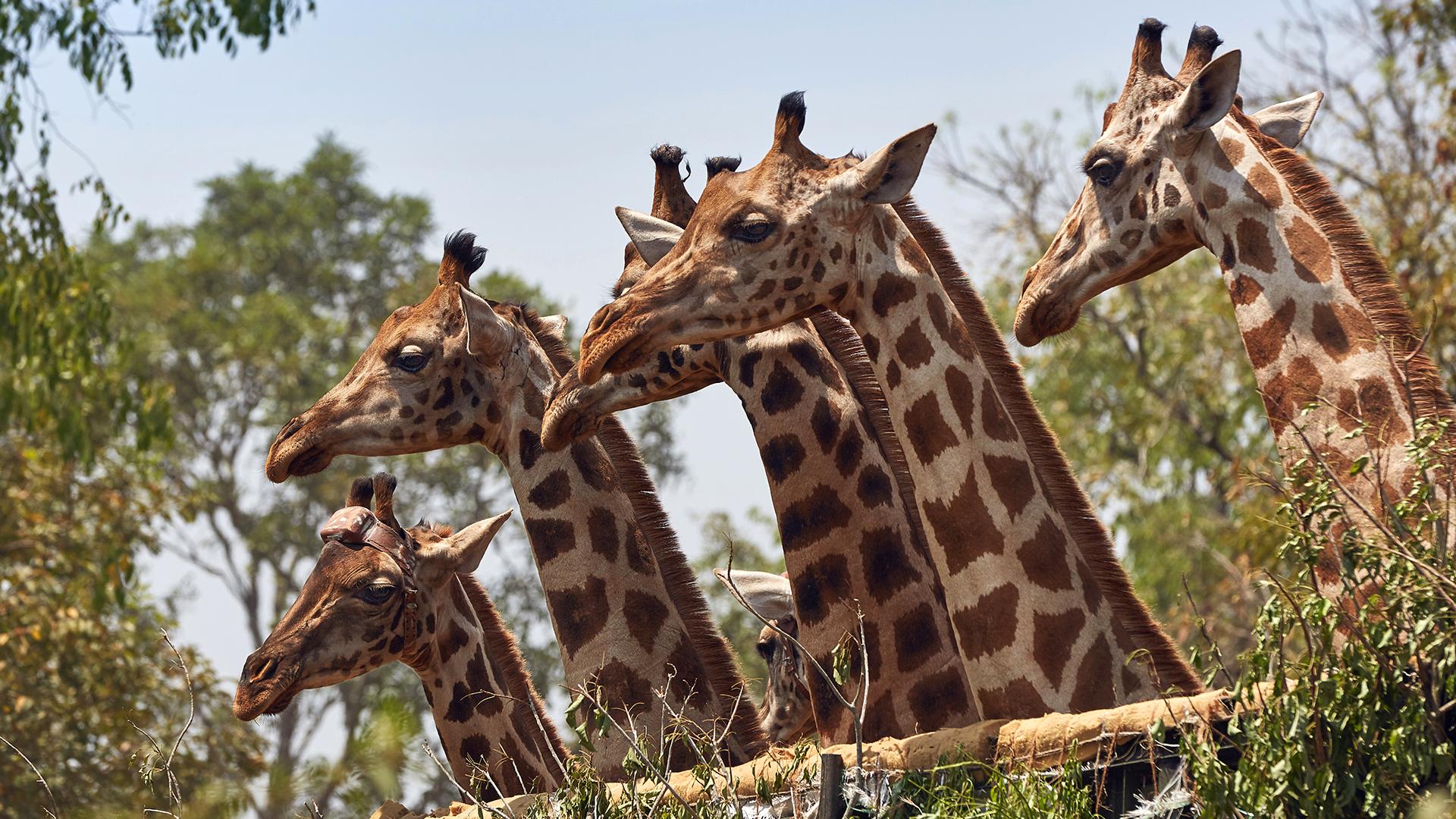to save these rare giraffes uganda built an ark of sorts nrdc